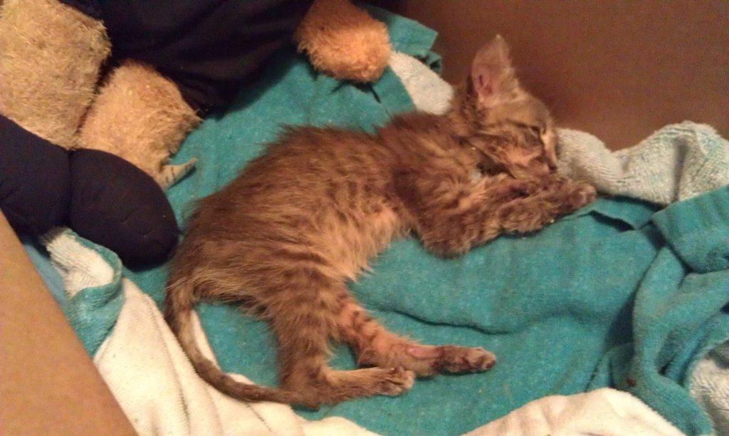 Понос у котов чем лечить в домашних условиях
