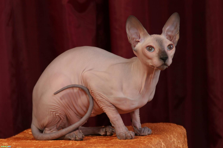 """Сфинкс -  """"голая """" порода, хотя и относится к бесшерстным кошкам, на самом деле имеет тонкий слой пуха ( как у..."""
