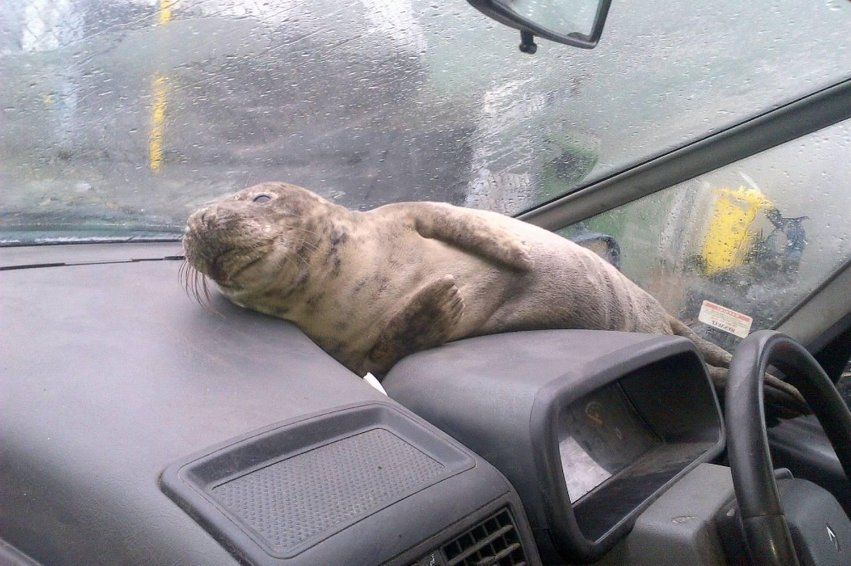 Шустрый тюлень из Шотландии: goodnewsanimal.ru/news/shustryj_tjulen_iz_shotlandii/2013-01-30-2642