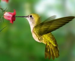 Удивительные колибри: полет хвостом вперед