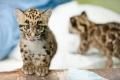 Два детеныша дымчатого леопарда (7 фото + видео)