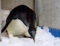 Аномальным холодам в Новой Зеландии не рад даже пингвин