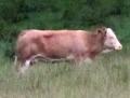 Корова Ивонна по прежнему в бегах