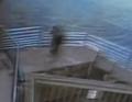 Влюбленная тюлениха перелезла через полутораметровый забор