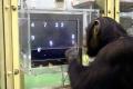 Насколько именно умны обезьяны?