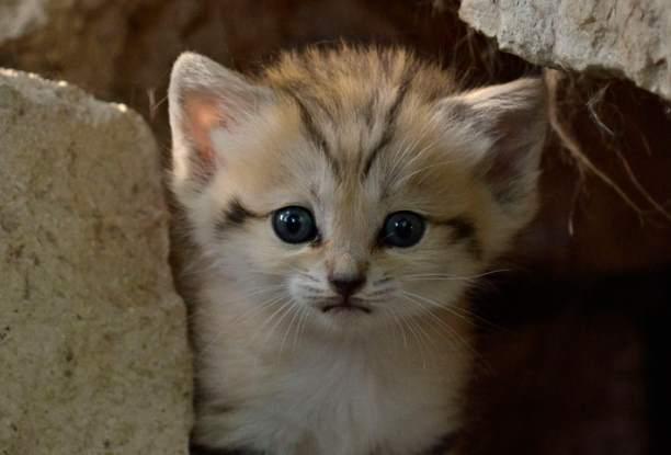 В зоопарке Израиля родился редкий барханный котенок