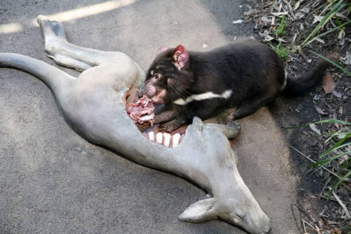 Как кормят тасманийских дьяволов в зоопарке Таронга