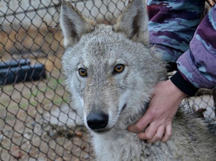 Картинки по запросу собаку поселили в вольер к волкам