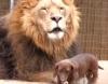 Лев и собачка: Современная версия