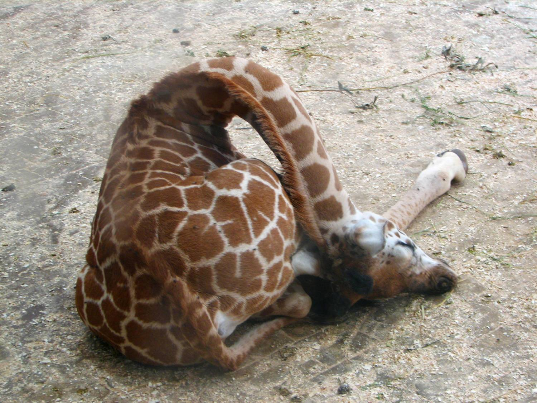 стихотворение жираф слушать на английском