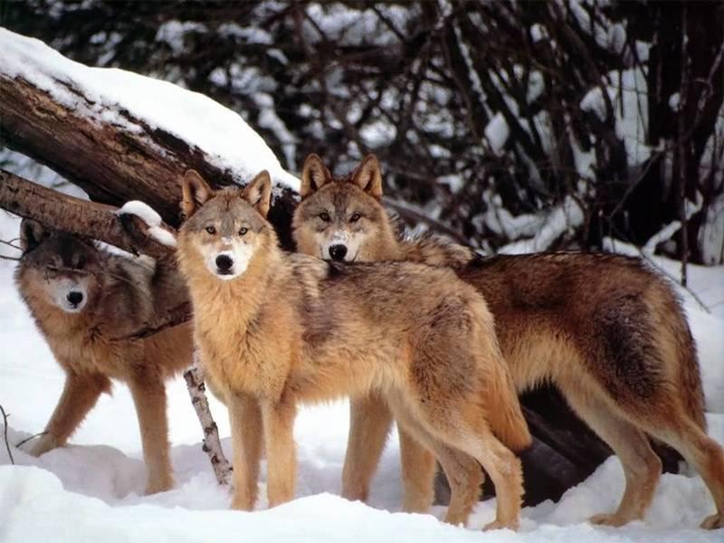 Волки Йеллоустона улучшили жизнь гризли