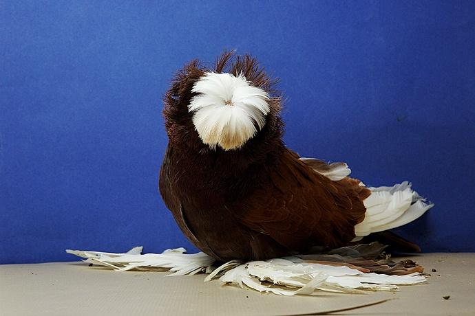 Домашние голуби россии онлайн фото 230-647