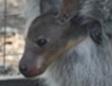 В Иркутске впервые родился кенгуренок
