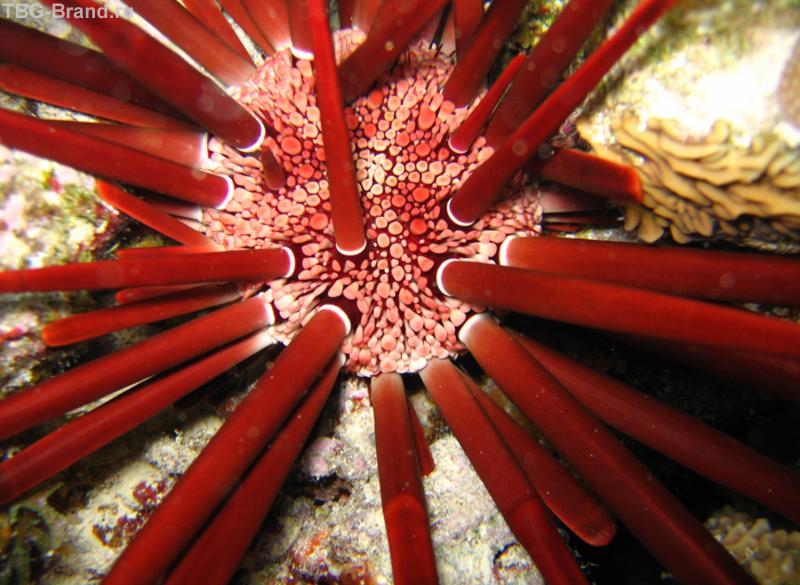 Картинки по запросу Красный морской ёж