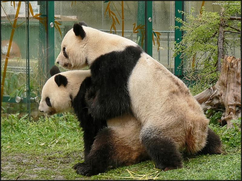 Секс панды