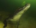 Неделя под водой с крокодилами