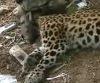 На Дальнем Востоке спасают диких леопардов
