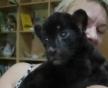 В зоопарке Екатеринбурга родилась пантера
