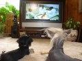 Английские собаки полюбили ТВ