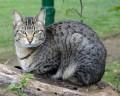 Приручение кошки