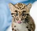 Детеныш дымчатого леопарда из Вашингтона