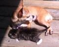Чихуахуа усыновила котенка