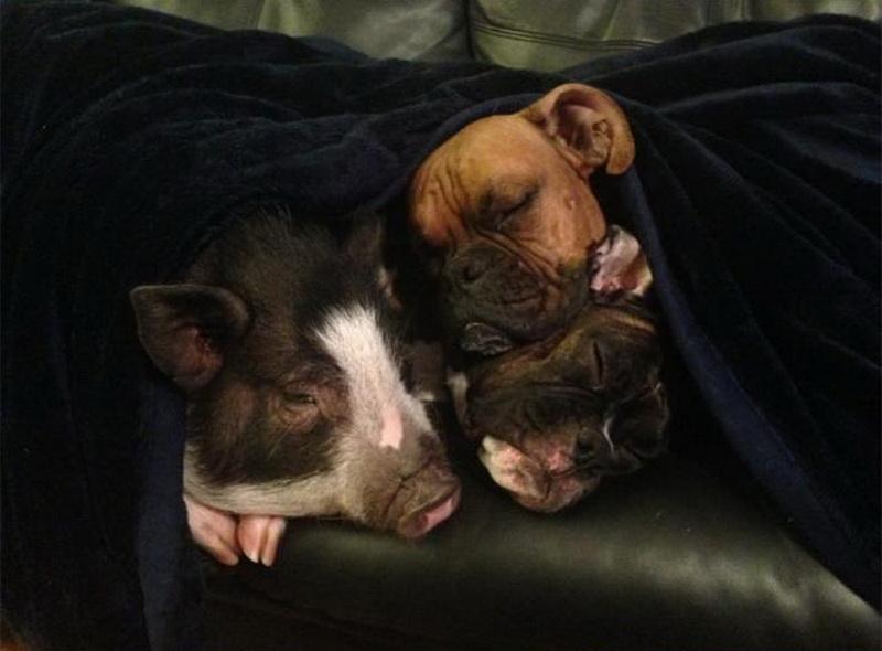 Собаки коты и свинья