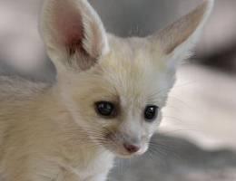 В израильском зоопарке родились детеныши фенека
