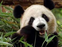 Как панды выживают на скудной бамбуковой диете?