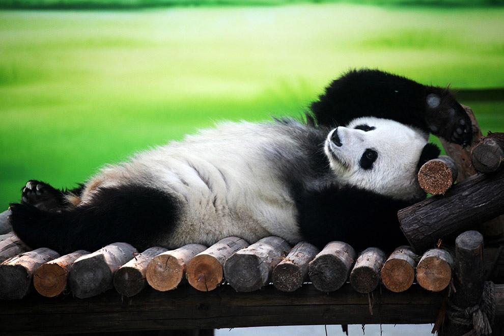 Картинки смешные панды