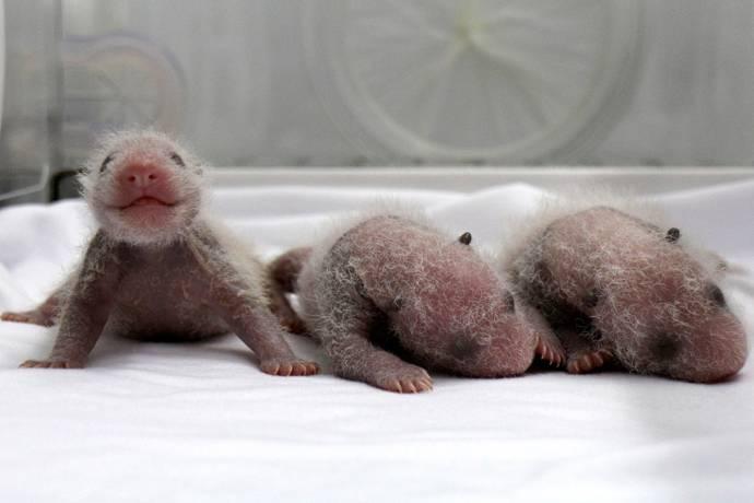 В Китае появилась на свет тройня детенышей панды