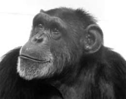 Разговорчивая шимпанзе Уошо