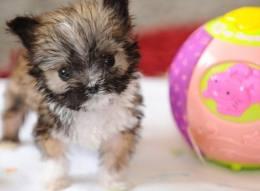 Тайсон - самая маленькая британская собака