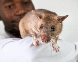 Гигантских африканских крыс обучили вынюхивать туберкулёз