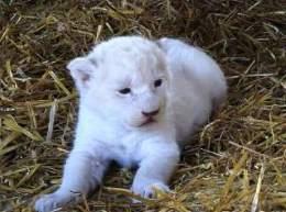 В немецком цирке родились четыре детеныша белого льва
