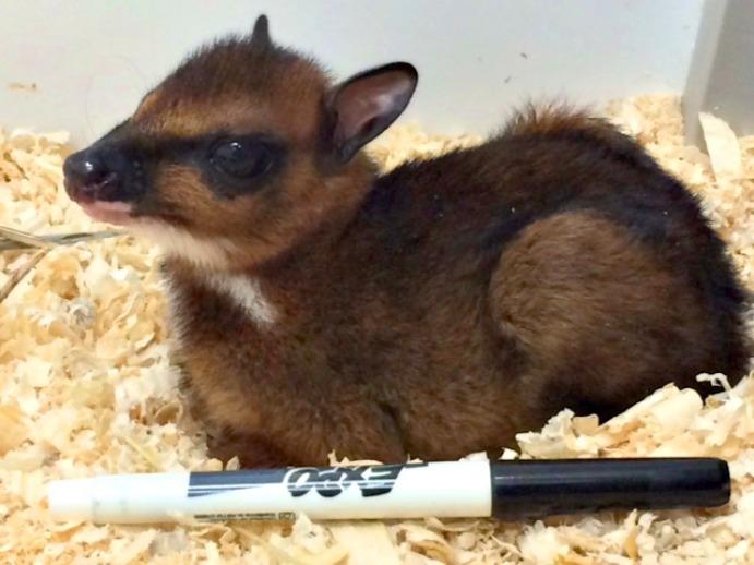 В зоопарке Канзаса родился детеныш большого канчиля