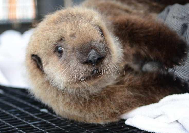 Детеныша морской выдры выкармливают в калифорнийском аквариуме