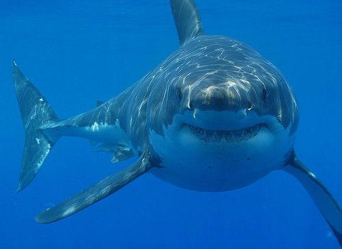 Вымирание акул-мегалодонов сделало китов крупнее