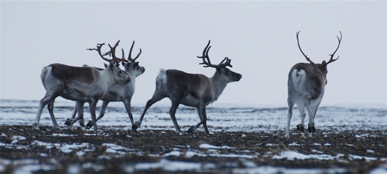 Получены первые фото новоземельского северного оленя