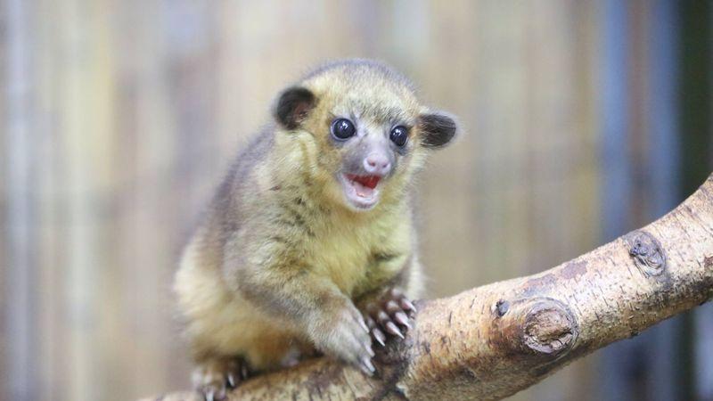В Лондонский зоопарк привезли зверька кинкажу