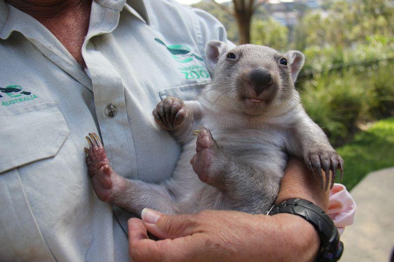 В зоопарке Таронга выхаживают сиротку-вомбата по кличке Хлоя