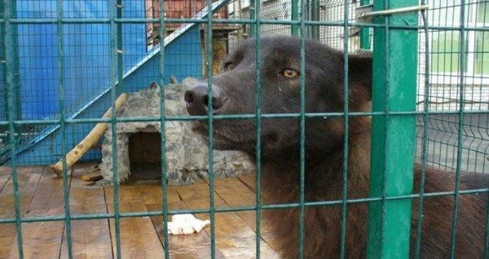 В Санкт-Петербурге спасли волка, который три года жил в клетке на автостоянке