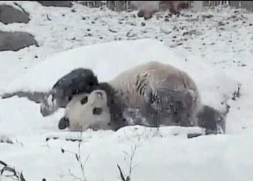Гигантская панда из канадского зоопарка кувыркается в снегу
