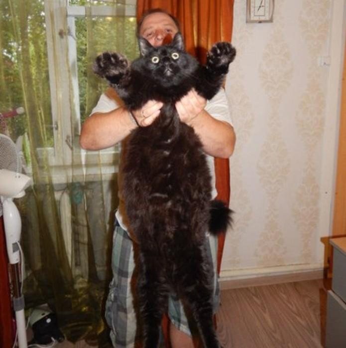 Огромный черный кот из Карелии прославился на всю страну