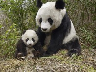 Китайцы узнали новые сведения о диких больших пандах