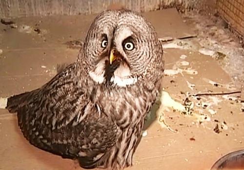 В Москве выхаживают сову -