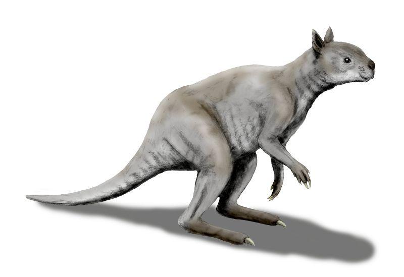 Древние кенгуру не прыгали, а ходили как люди