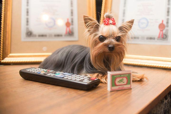 Самую маленькую собаку России дети принимают за игрушку