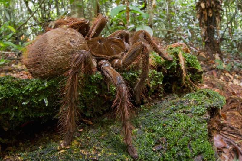 В Южной Америке нашли самого большого паука