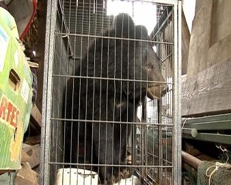 Приморские полицейские спасли гималайского медвежонка